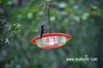 """Summer """"Fun Thing"""": Attract and Feed Hummingbirds"""