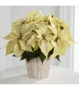 poinsetta plant 3 Easy Ways to Get Your Home Ready for the Holidays!